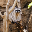 Stock Photo: Raccoon