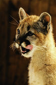 Young Mountain Lion — Stock Photo