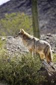 Kojot prérijní — Stock fotografie