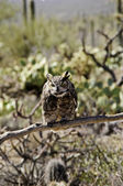 Great horned owl with food on beak — Stock Photo