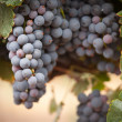 Lush, Ripe Wine Grapes on the Vine — Stock Photo #3962522