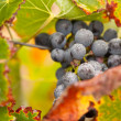 Stock Photo: Lush, Ripe Wine Grapes with Mist Drops on the Vine