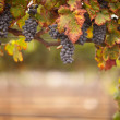 Lush, Ripe Wine Grapes on the Vine — Stock Photo #3962534