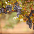 Stock Photo: Lush, Ripe Wine Grapes on the Vine