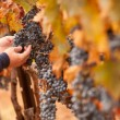 Farmer Inspecting His Ripe Wine Grapes - Foto Stock