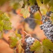 Lush, Ripe Wine Grapes with Mist Drops on the Vine — Stock Photo #3962543