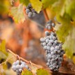 Lush, Ripe Wine Grapes with Mist Drops on the Vine - Stock Photo