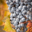 图库照片: Lush, Ripe Wine Grapes with Mist Drops on the Vine