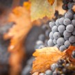 Lush, Ripe Wine Grapes with Mist Drops on the Vine — Стоковая фотография