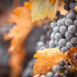 Lush, Ripe Wine Grapes with Mist Drops on the Vine -  