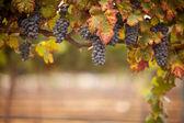 Lush, Ripe Wine Grapes on the Vine — Stock Photo