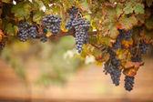 Lush, Ripe Wine Grapes on the Vine — Foto de Stock