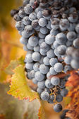 Lush, Ripe Wine Grapes with Mist Drops on the Vine — Photo