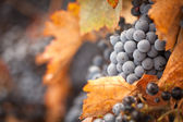 Bujny, dojrzałe winogrona z kroplami mgły na winorośli — Zdjęcie stockowe