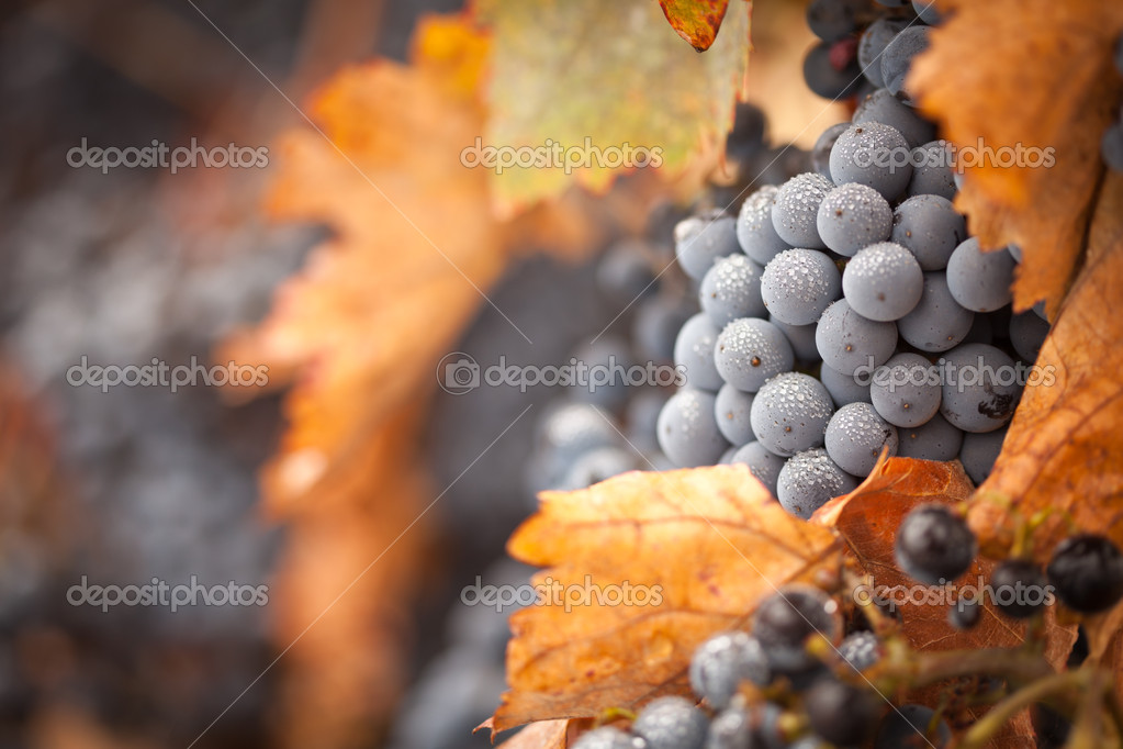 Lush, Ripe Wine Grapes with Mist Drops on the Vine Ready for Harvest. — Stock Photo #3962549