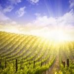 belo vinhedo de uvas exuberante e céu dramático — Foto Stock