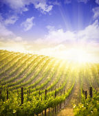 Beautiful Lush Grape Vineyard and Dramatic Sky — Stock Photo