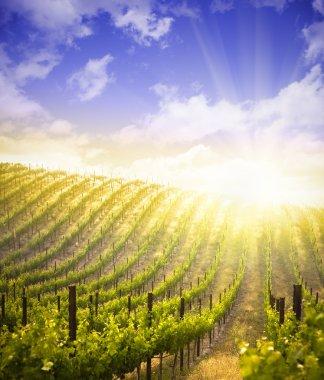 Beautiful Lush Grape Vineyard and Dramatic Sky