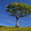 Lonely tree with clear sky — Stock Photo
