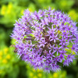 Royalty-Free Stock Photo: Ornamental Allium