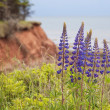 Stock Photo: Lupin View