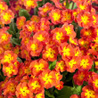Perennial Primrose — Stock Photo