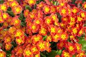 Perennial Primrose — Stock Photo