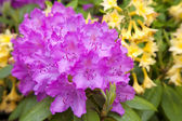 Rhododendron Garden — Stock Photo
