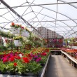 Geranium Greenhouse — Stock Photo