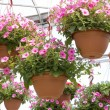 Stock Photo: Pretty Pink PetuniHanging Baskets