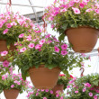 Pretty Pink Petunia Hanging Baskets — Stock Photo