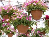 Pretty Pink Petunia Hanging Baskets — Stock Photo
