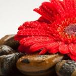 Spa rock ve gerbera papatya — Stok fotoğraf