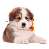 Small furry puppy — Stock Photo