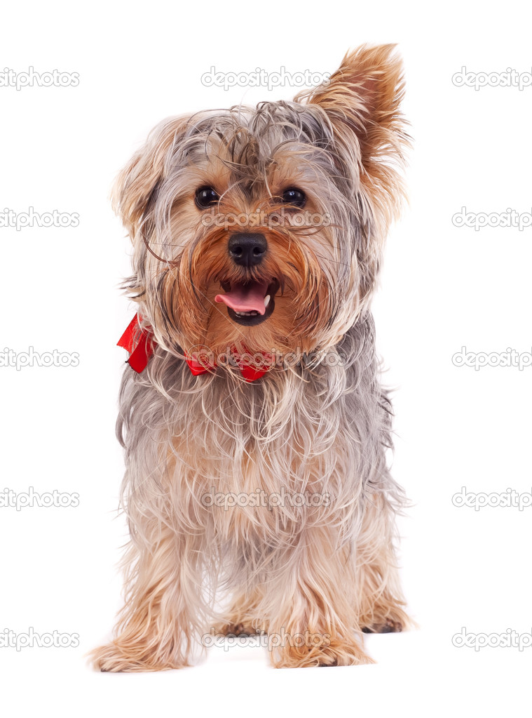 Panting Yorkshire terrier puppy on white background  — Stock Photo #4003243