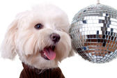 Bichon face near a shinny disco ball — Stock Photo