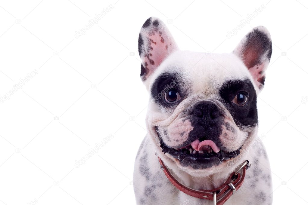 Picture of a panting French Bulldog  in front of a white background — Zdjęcie stockowe #4302529