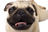 Close-up de um pug — Foto Stock