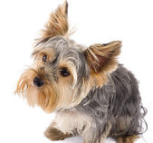 Adorable Yorkshire Terrier dog looking up — Stock Photo