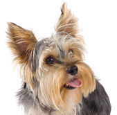 Yorkshire Terrier puppy looking up — Stock Photo