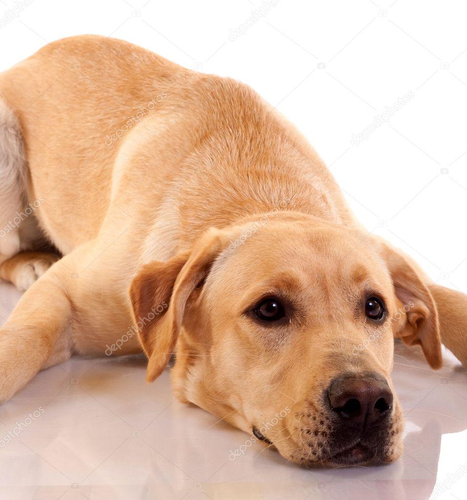 伤心的狗-拉布拉多图片高清