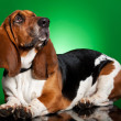 Basset dog on green background - Stock Photo