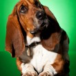Curious basset dog — Stock Photo