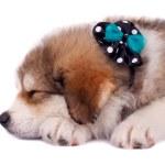 Bucovinean shepard puppy — Stock Photo #5122921