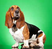 Basset Hound dog — Stock Photo