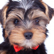 Cute yorkshire puppy with red bow — Stock Photo