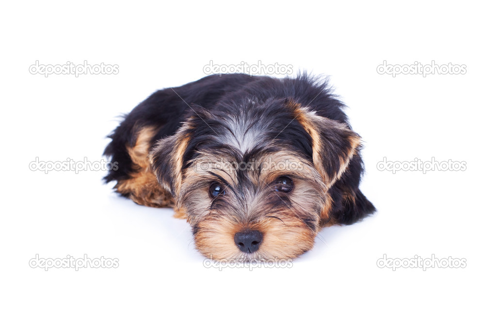 Adorable yorkshire puppy, relaxing, isolated on white — Stock Photo #5231591