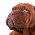 Face of a Dogue de Bordeaux — Stock Photo