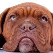 Royalty-Free Stock Photo: French mastiff\'s sad eyes