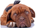 Cloaseup of a french mastiff — Stock Photo